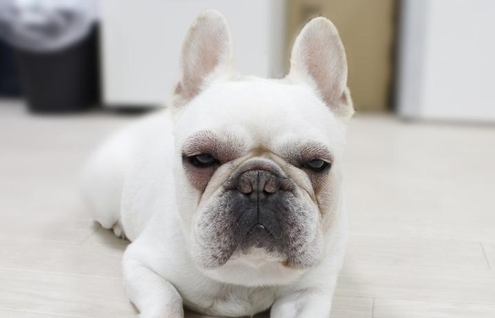 雑草を食べてアレルギー反応を起こして顔が腫れている犬