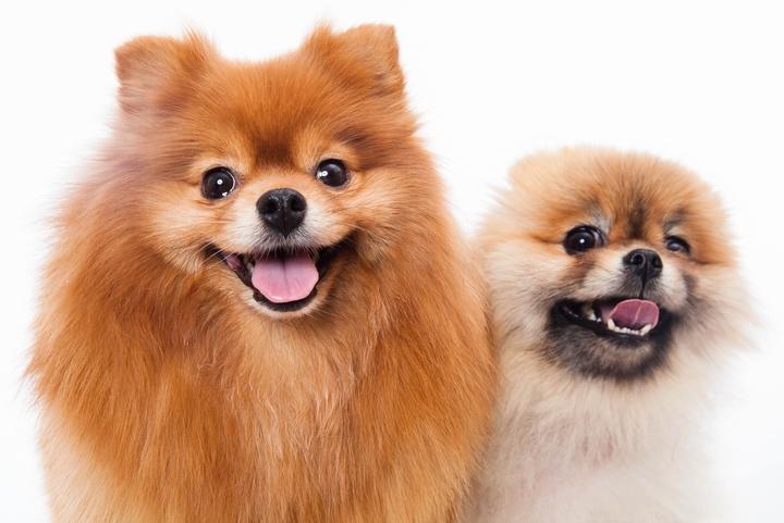 笑顔でこちらを見ているポメラニアンの成犬と子犬