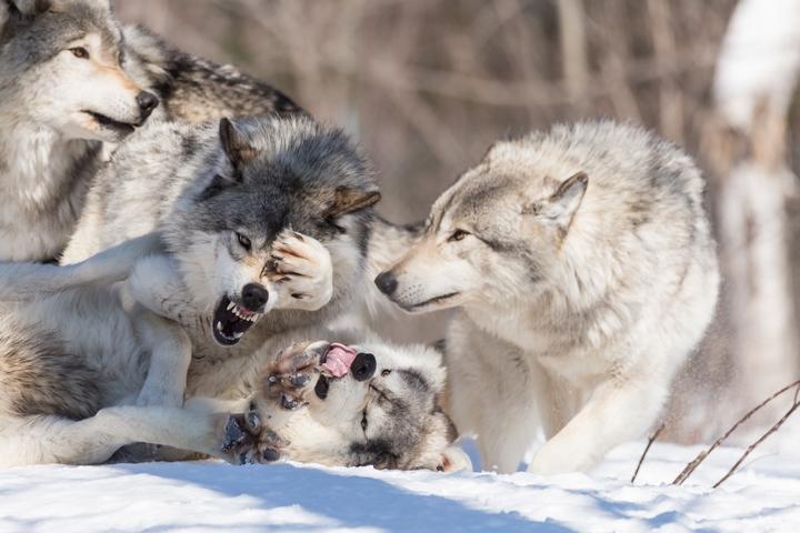 犬の祖先と言われているオオカミが群れで遊んでいる様子