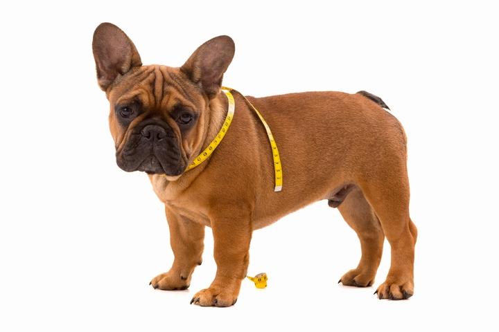 体の太さをメジャーで測られているフレンチブルドッグの子犬