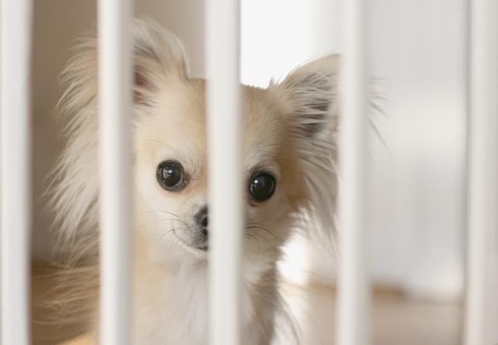 飼い主に遊んで欲しくてサークルの中から覗くチワワ