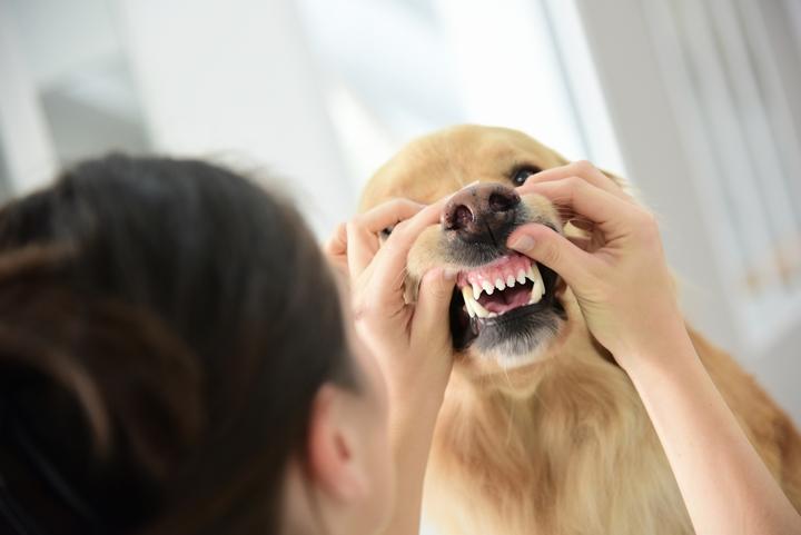 犬の歯垢をチェックする飼い主