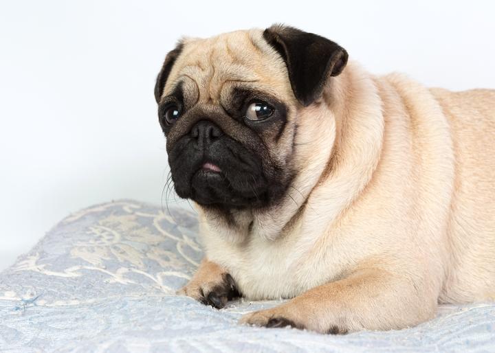 肥満になったパグ犬