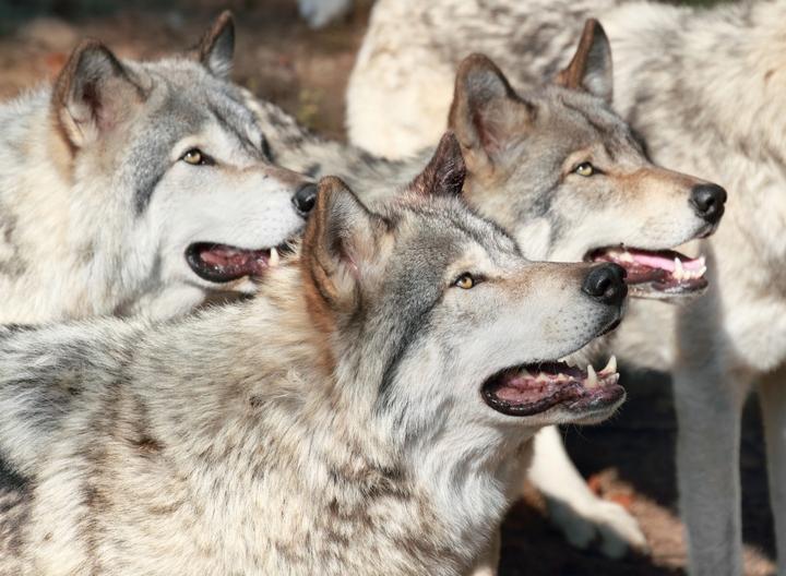 群れになったオオカミ