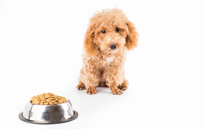 高価なドッグフードを見つめるプードル犬