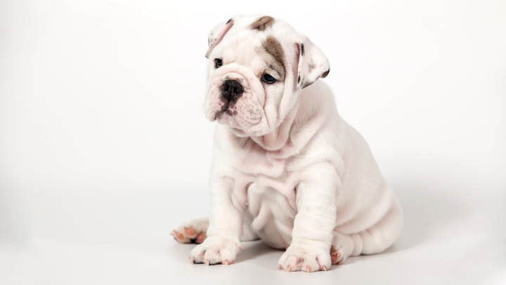 肥満になりやすい犬種のフレンチブルドッグの子犬