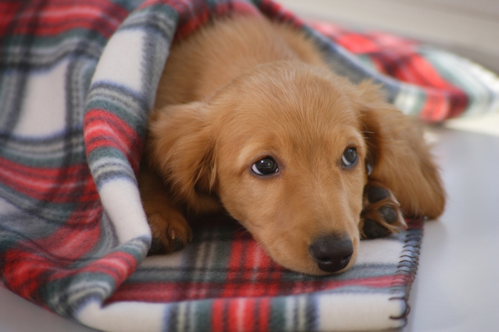 寝床で毛布にくるまるダックスフンド