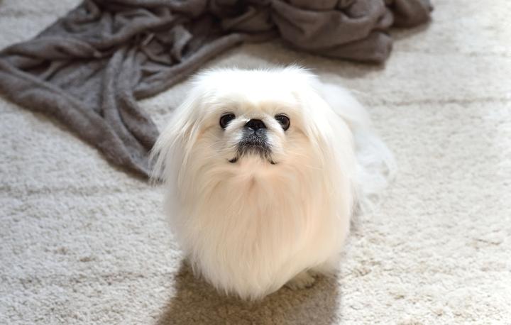 涙やけをきれいな被毛を保っているかわいい犬