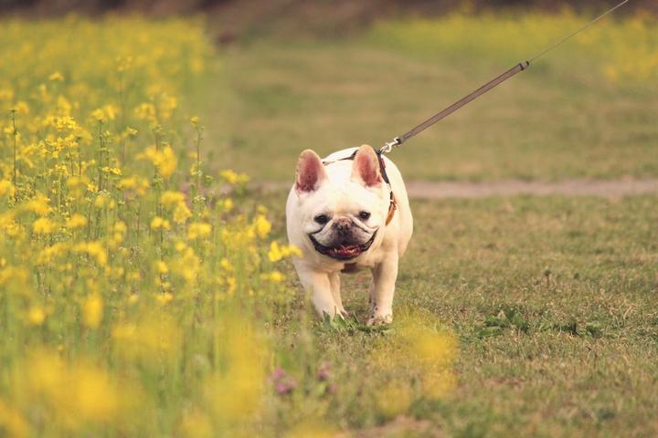 ストレス解消とトイレを済ませるために散歩をしているフレンチブルドッグの成犬
