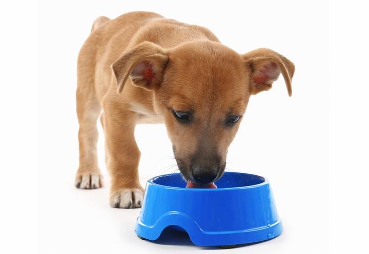 ふやかしたドッグフードを食べる成長期の子犬