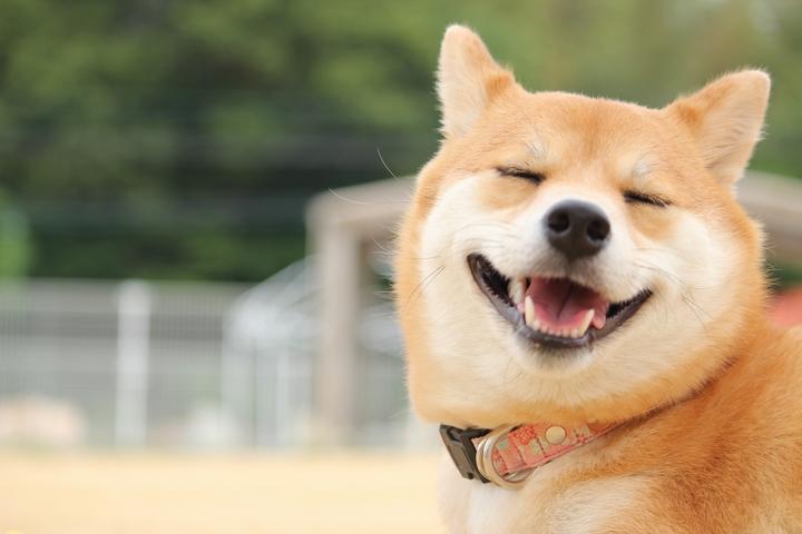 健康的で嬉しそうに笑いながらこちらを見る柴犬