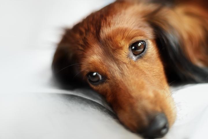 ダックスフントの老犬