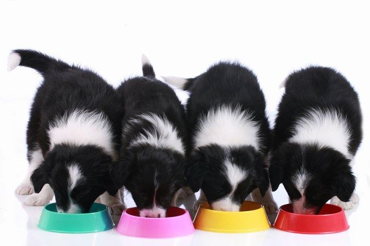 ドッグフードを並んで食べる子犬
