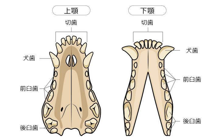 犬の歯の種類
