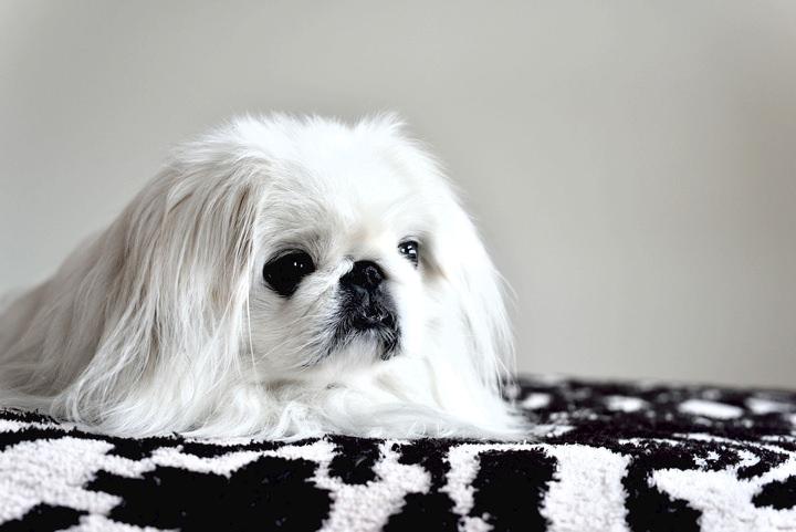胃捻転になりやすい犬種