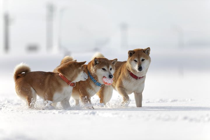 雪の積もった広場で駆け回る柴犬