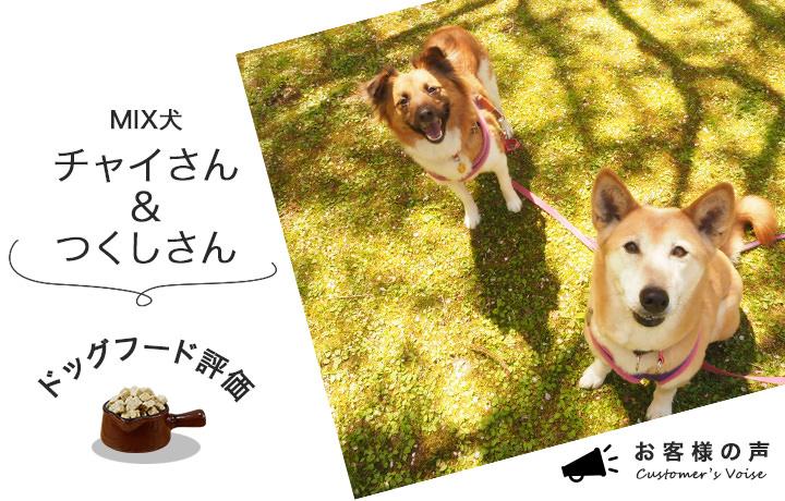 芝生の上で楽しそうに遊びながら飼い主さんを見ているMIX犬のチャイとつくし