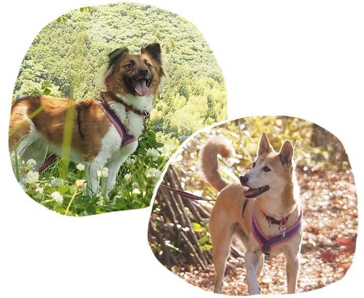 楽しそうにお散歩をしながら飼い主さんを見ているMIX犬のチャイとつくし