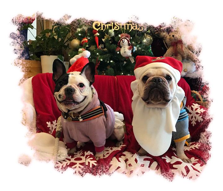 フレンチブルドッグのオハナちゃんとアロハくんがクリスマスをお祝いしている様子