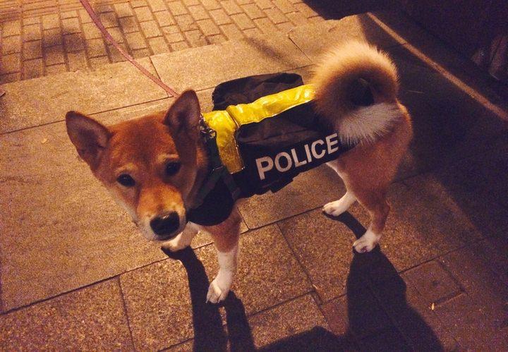 夜のお散歩で気付きやすいように蛍光に光る服を着ている柴犬