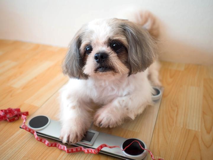 体重計に乗って体重管理をされている犬の様子