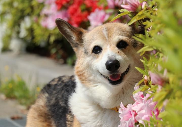 元気に散歩をしているコーギー犬の様子