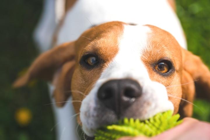 生の人参を食べようとしているビーグル犬の様子