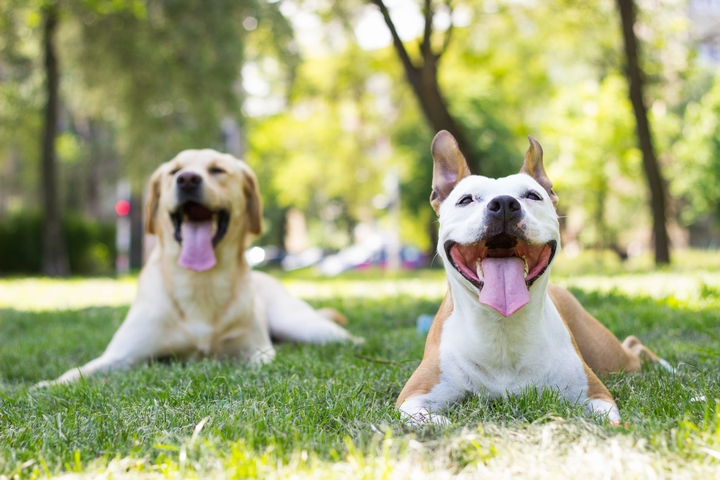 公園で散歩中に暑くなりパウンティングをしている犬の様子