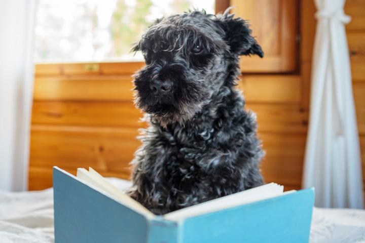 シュナウザー犬が本を読んでいる様子