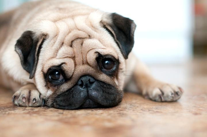 可愛い表情でこちらを見ているパグの様子