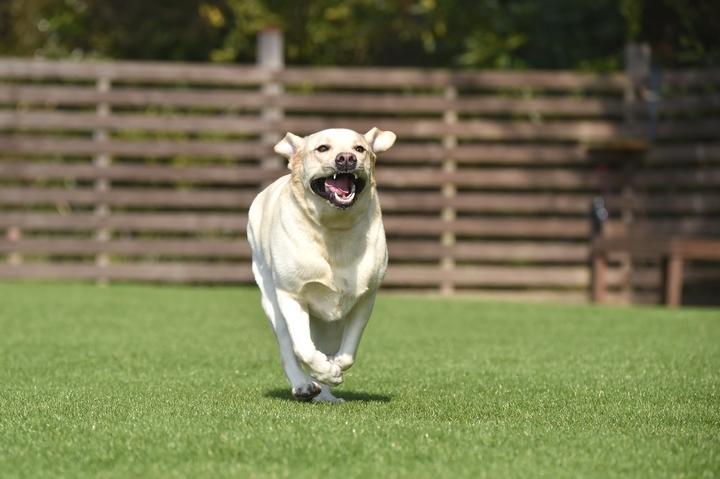 元気に走る大型犬の犬