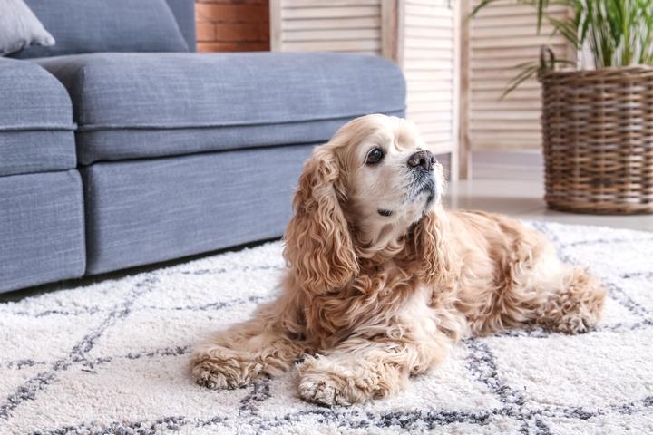 飼い主を見つめるアメリカンコッカーースパニエルの子犬の様子