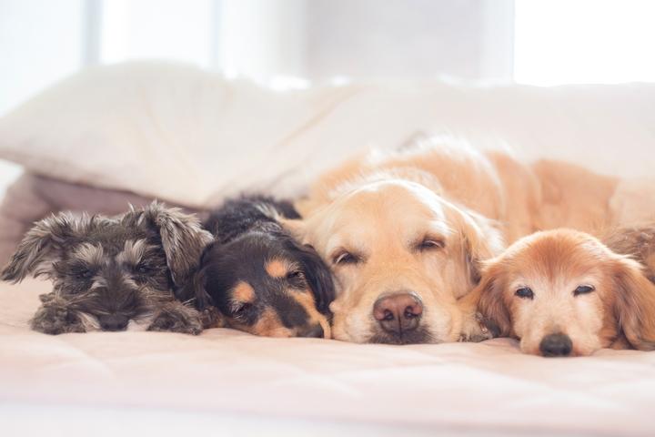 4頭並んで寝ている犬の様子